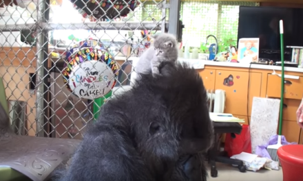 You can't be as happy as this Gorilla when she got kittens for her birthday