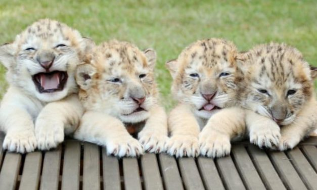 White Lion And White Tiger Babies Are The Most Adorable Things On Earth